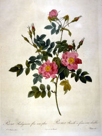 Rosa rubiginosa flore semi pleno by AKG  Images