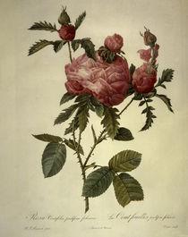 Rosa centifolia prolifera foliacea by AKG  Images