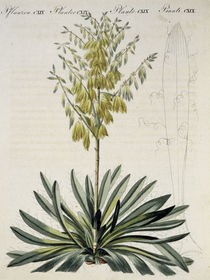 Faedentragende Yucca / aus Bertuch 1810 by AKG  Images