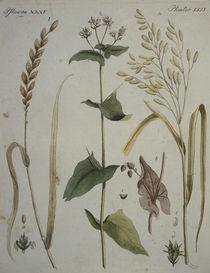 Getreidearten / aus Bertuch 1796 von AKG  Images