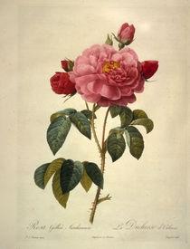 Rosa gallica aurelianensis / Redoute von AKG  Images