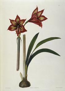 Amaryllis / Farblitho / E.Bury 1831-34 von AKG  Images
