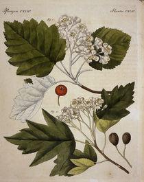 Weissdorn / aus Bertuch 1813 by AKG  Images