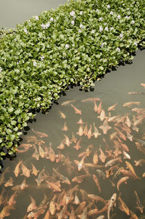 The GoldFish of the Imperial Palace in Hue in Vietnam