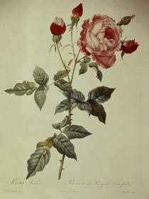 Rosa indica/Stich nach Redoute von AKG  Images