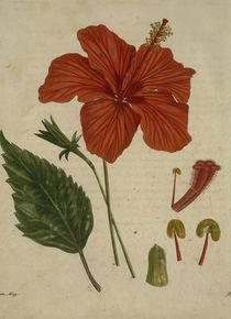 Chinesischer Eibisch / Asiat.Magaz.1806 von AKG  Images