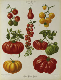 Tomaten, Album Benary / Farblithographie by AKG  Images