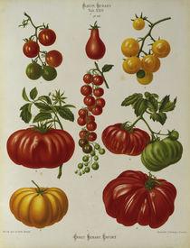 Tomaten, Album Benary / Farblithographie von AKG  Images