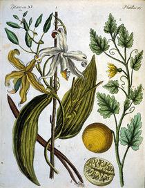 Vanille und Koloquinthe / Bertuch 1792 von AKG  Images