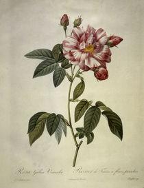 Rosa gallica versicolor/Stich Redoute von AKG  Images
