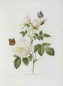 Teerose / / Redoute 1835 Nr.123 by AKG  Images