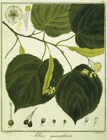 Linde (Tilia pauciflora)/Radierung Haas by AKG  Images