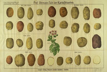 Tafel der Kartoffelsorten / Graser's von AKG  Images