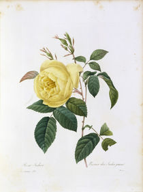 Rosa Indica / Redoute 1835, T.122 by AKG  Images