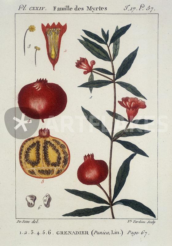 granatapfelbaum granataepfel radierung bild als poster und kunstdruck von akg images bestellen. Black Bedroom Furniture Sets. Home Design Ideas