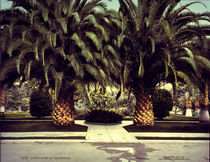 Dattelpalmen, Kalifornien / Foto 1901 by AKG  Images
