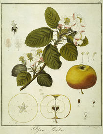 Apfel/Radierung Guimpel von AKG  Images