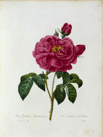 Rosa Gallica / Redoute 1835, T.121 by AKG  Images