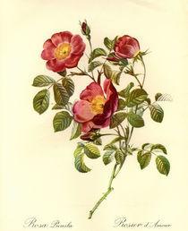 Rosa pumila/Stich nach Redoute von AKG  Images