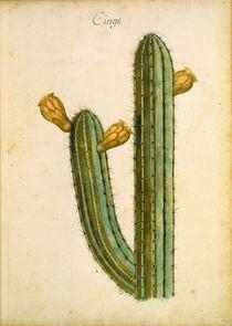 Kaktus / Ch.Plumier von AKG  Images