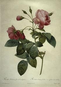 Rosa reclinata flore sub mutiplici von AKG  Images