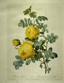 Rosa sulfurea/Stich nach Redoute von AKG  Images