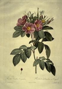 Rosa carolina corymbosa/nach Redoute by AKG  Images