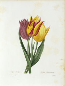 Tulpe Gesneriana / Redoute von AKG  Images