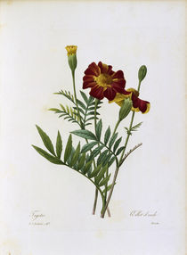 Tagetes / Redoute von AKG  Images