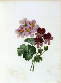 Geranium / Redoute by AKG  Images