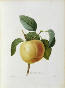Apfel, Calville blanc / Redoute by AKG  Images