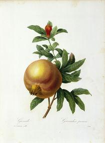 Granatapfel / Redoute von AKG  Images