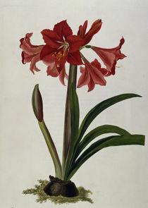 Amaryllis / Farblitho / E.Bury 1831-34 by AKG  Images
