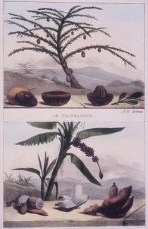 Kalebassenbaum u.Banane / J.B.Debret von AKG  Images