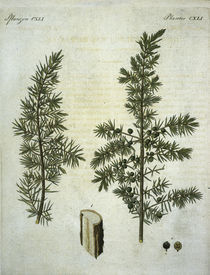 Wacholder / aus Bertuch 1813 von AKG  Images