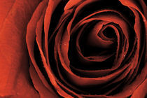 Red Rose von Janice Sullivan