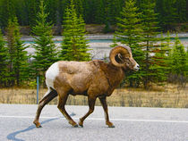 Bighorn Sheep by Joel Morin