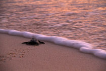 Hatchlings-of-hawksbill-turlte-4