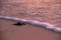 Tiny turtle von Steve De Neef