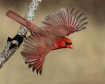 Flamboyant Flyboy (Cardinal) by Howard Cheek