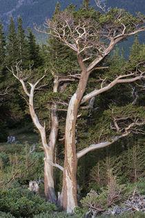 Bristlecone pine by JP Bruce