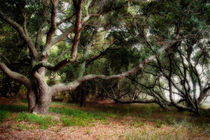 Live oaks by Susan Isakson