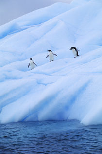 Adelie Penguins on Iceberg by Wolfgang Kaehler