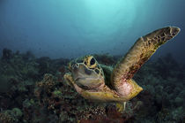 Curious turtle by Steve De Neef
