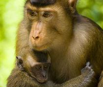 Sabah Malaysia, Borneo, Pig Tailed Macaque von Jason Friend