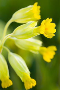 England, Northumberland, Cowslip. by Jason Friend