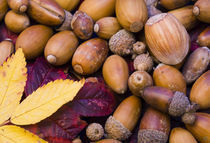 Detail view of Autumn leaves and nuts collected from a UK woodland. by Jason Friend