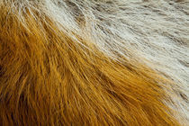 Fox Fur, Uk by Jason Friend
