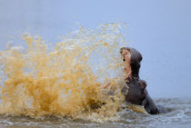 Hippo splashing water (Hippopotamus amphibius), Kruger National Park, South Africa von Sami Sarkis Photography