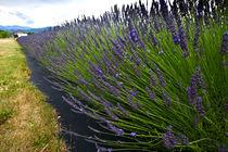 Lavender closeup by beau purvis